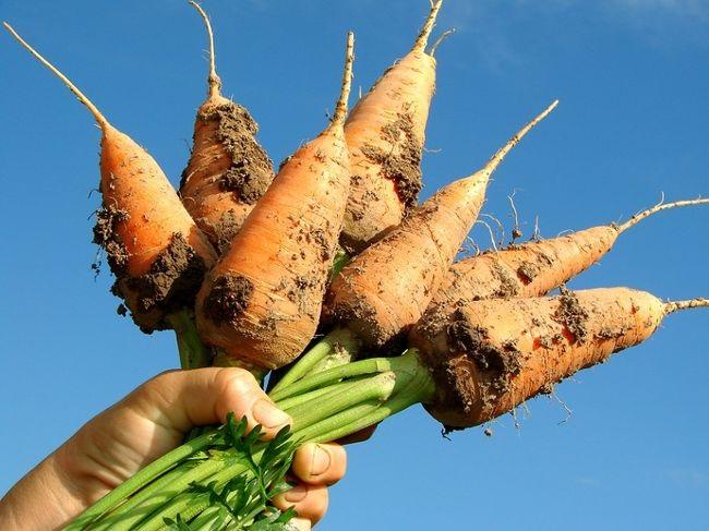 когда сажать морковь в грунт