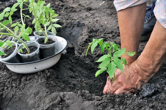 Когда сеять томаты на рассаду в 2016 году