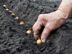 Лук севок: когда сажать весной 2019 года, выращивание, лучшие сорта. Предпосевная обработка лука севка