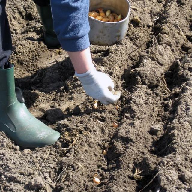Даты высадки лука-севка в открытый грунт в 2016 году