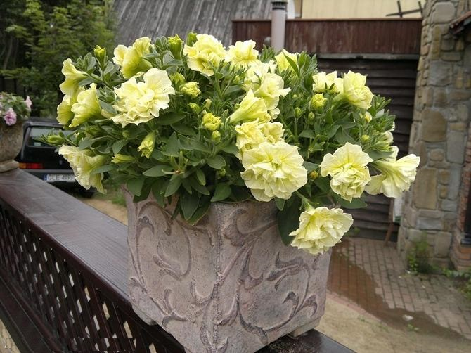 Petunia каскадная петунья лимонная