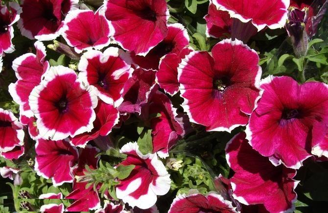 Petunia красная фото 2016