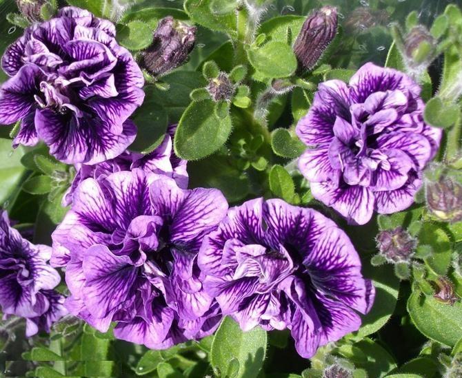 синие цветы каскадной петуньи, гибрид