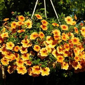 фото желтой петунии