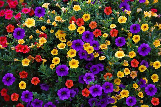 синие и желты цветы петуний