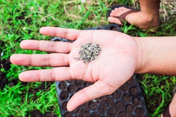 Когда сажать семена календулы в открытый грунт 2