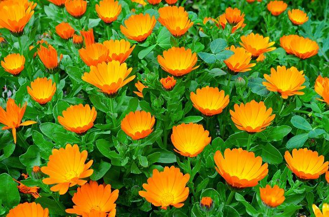 цветки календулы картинки