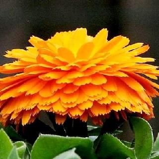 Календула из семян. Выращивание в открытом грунте