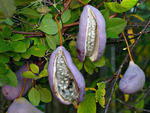 плоды акебии пятерной фото