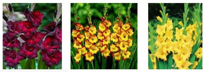 фото желтых гладиолусов