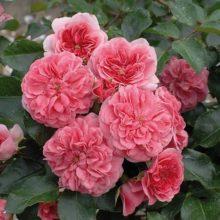 Почвопокровные розы, цветущие все лето