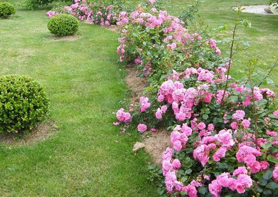 почвопокровные розы на фоне газона, фото