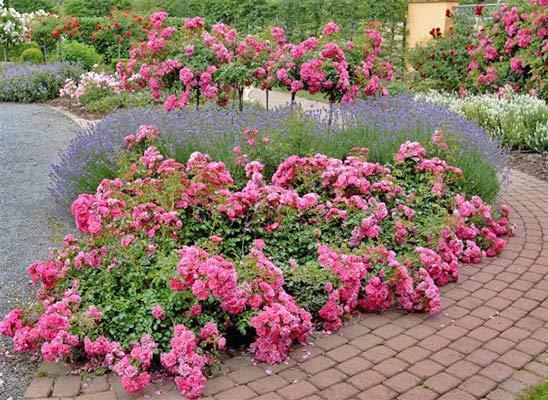 ковровые розы на участке фото