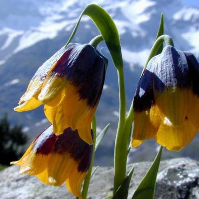 Fritillaria imperialis Рябчик императорский фото
