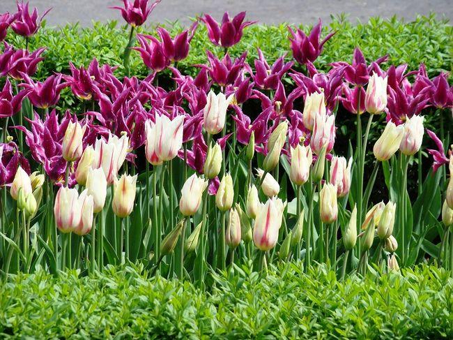 как цветут тюльпаны
