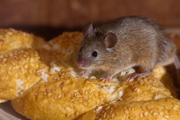 надоели мыши  в частном доме что делать