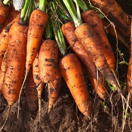 фото морковки для средней полосы россии