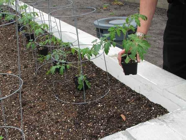 высаживание рассады помидоров в грунт пошагово