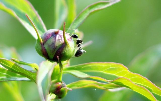 Муравьи едят пионы что делать