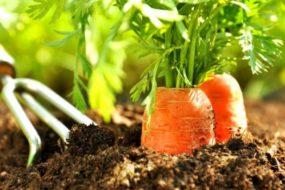 Посадка моркови весной:  когда сеять правильно