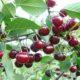 Вишня Шоколадница — описание сорта вишни