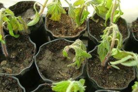 Как спасти подмерзшую рассаду помидоров