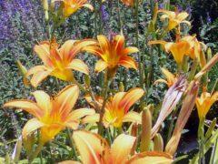 Когда пересаживать лилию: осенью, весной или летом?